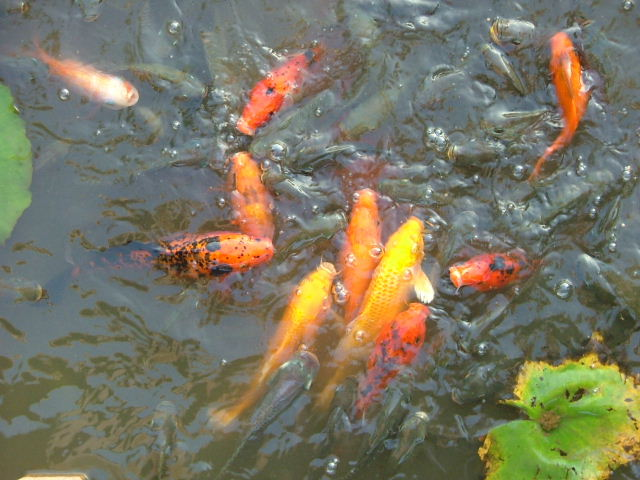 how to get rid of green water in goldfish pond