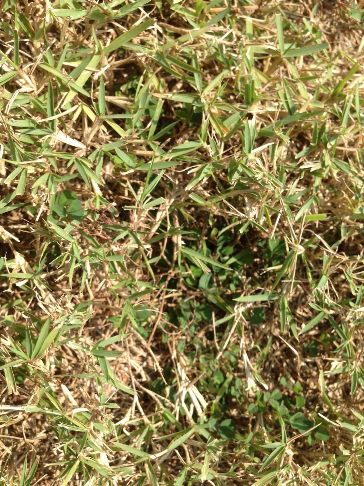 how to get rid of spurge in my lawn