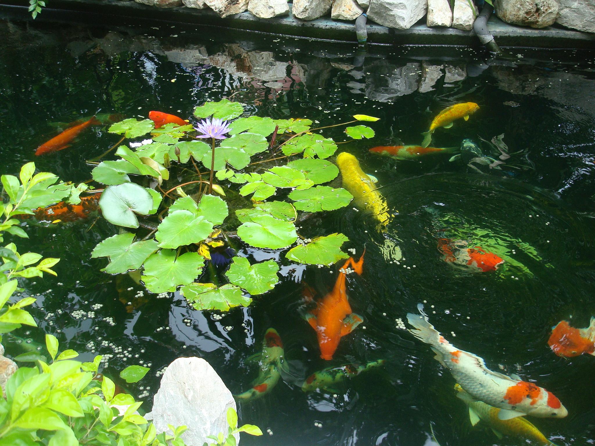Koi ponds plants pets vets in thailand thailand forum for Koi pond forum