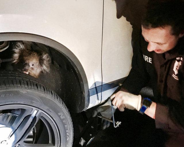 Koala Takes Death-Defying Ride In 4WD Wheel Arch