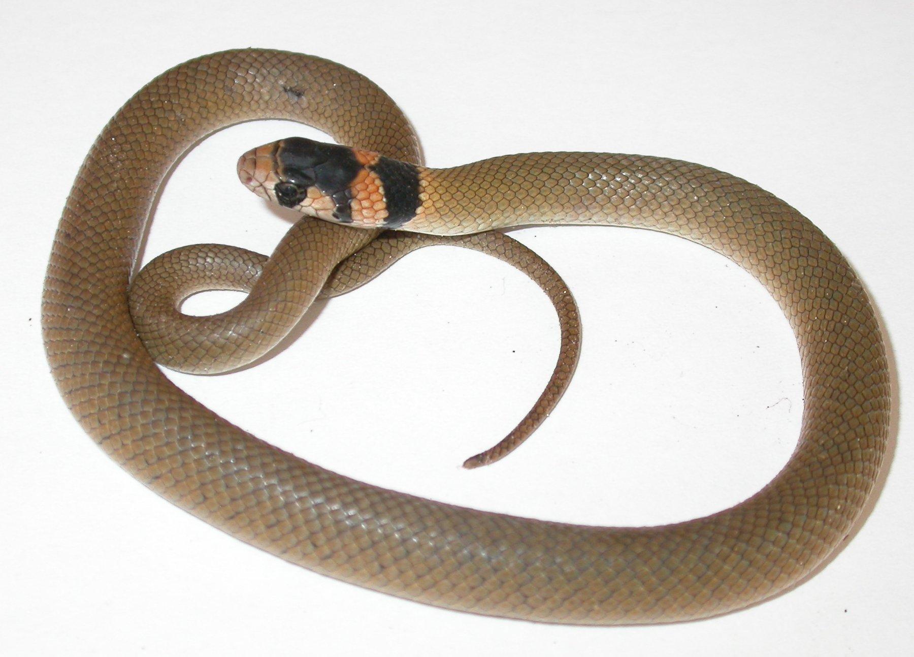 hawaii brown snakes - HD1800×1293