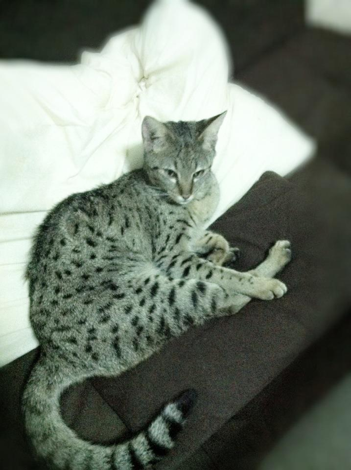 Savannah Cat Breeder - Plants, Pets & Vets in Thailand - Thailand