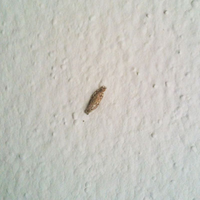 How To Controlprevent Annoying Moth Cocoons On My Walls And Ceiling