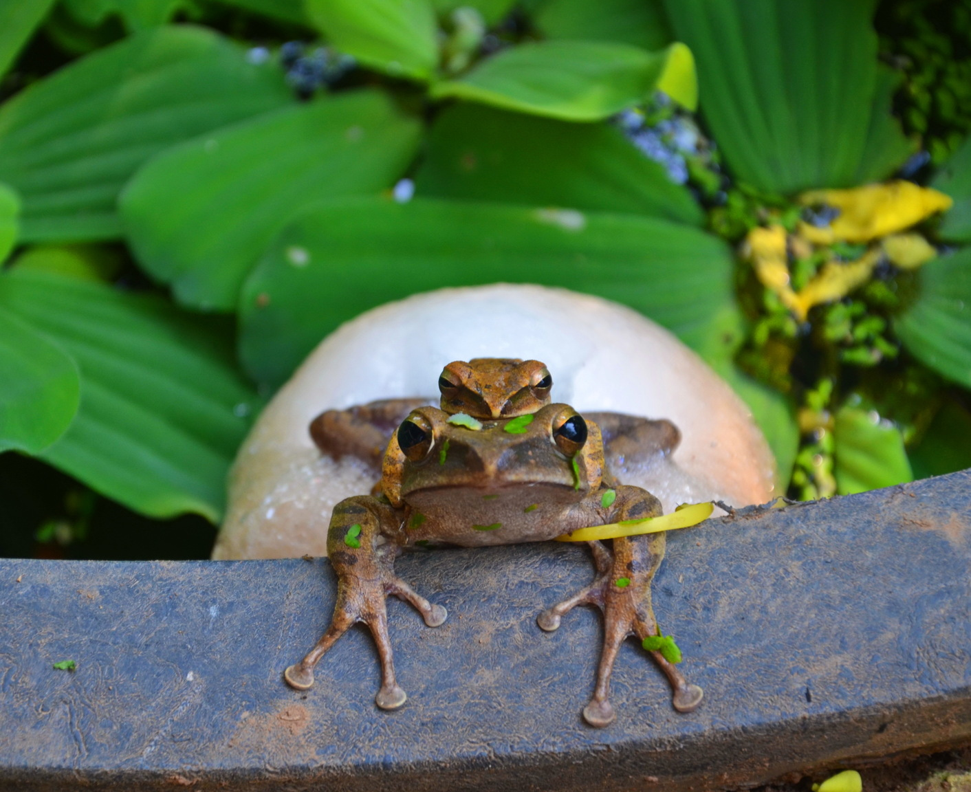 Thai frogs.jpg