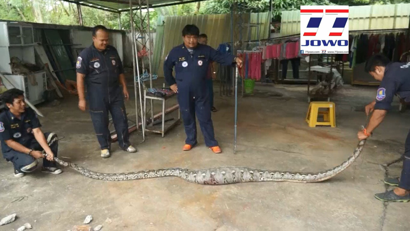 Video: Snake capture then massive python reveals what he had