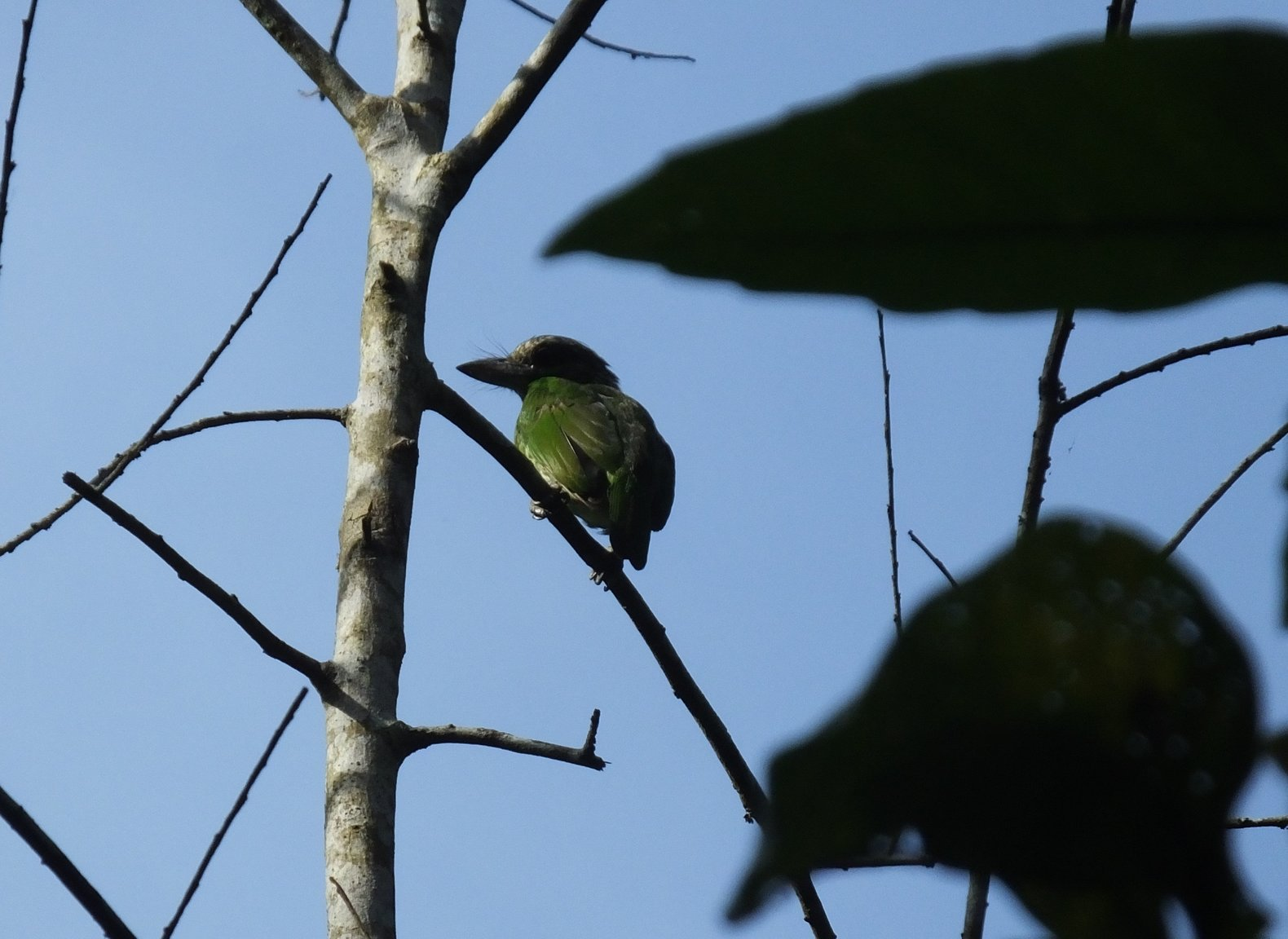 Green-eared Barbet.jpg