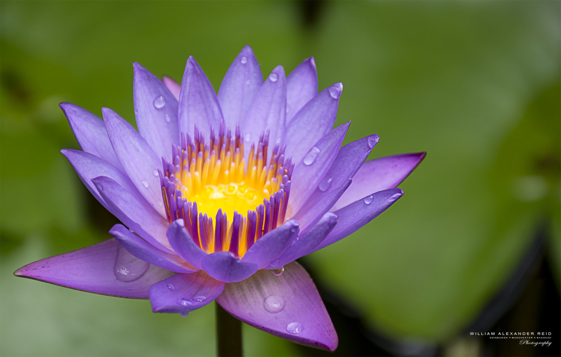 364850056_DSC_7494PurpleWaterLilyintheRain.thumb.jpg.175032dd26f818cd772d87c6da4ba248.jpg