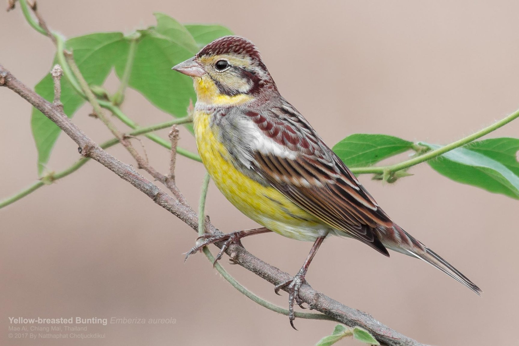 yellow-breasted_bunting_0.jpg