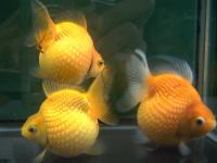 Looking For Gold Fish Farm - General topics - Thailand Visa Forum by