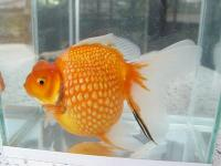 Looking For Gold Fish Farm - General topics - Thailand Visa